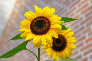 sunflower-flowers